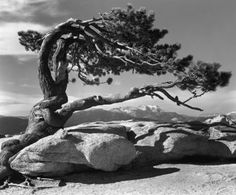 °Ansel Adams Jeffrey Pine, Sentinel Dome 1941 |Pinned from PinTo for iPad|