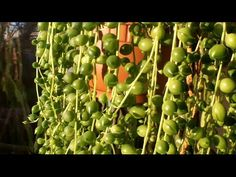 How to propagate the String of Pearls plant ( Senecio rowleyanus ) – Desert Plants of Avalon