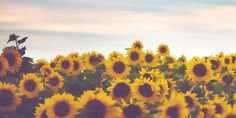 Sunflower Twitter Header