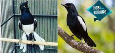 2 Jenis Burung Kacer Di Indonesia Lengkap Dengan Gambar