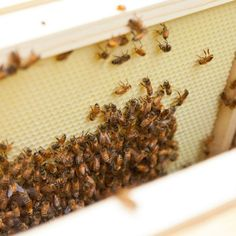 Beekeeping for Beginners—The First 10 Days with Your New Beehive   Organic Gardening Blog #organicgardening