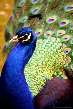 Amazing Range-of-Colors in a Peacock