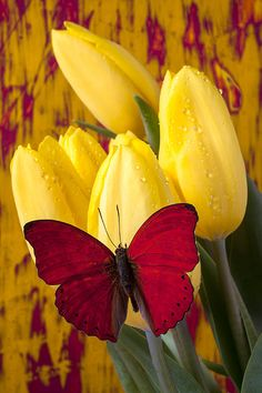 ~~ Red butterfly resting on tulips by Garry Gay ~~