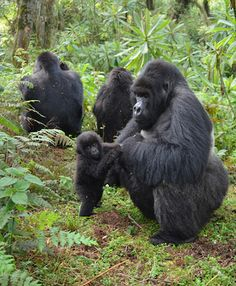 A male gorilla grooms a baby gorilla. (Photo copyright © The Dian Fossey Gorilla…