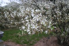 serviceberry tree | Journal for Trees in the City Course: Tree 3 - Downy Serviceberry ...