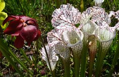 white-topped pitcher plant