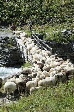 Schafherde in Prägraten | Osttirol | Austria, by bingo.schwanitz