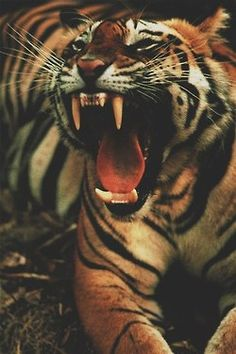 Big Cat Tiger Wild Animals Wallpapers HD For iPhone Android Beautiful Cats, Animals Beautiful, Animals And Pets, Cute Animals, Fierce Animals, Wild Animals, Gato Grande, Here Kitty Kitty, Big Cats