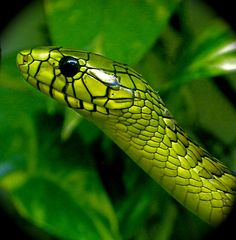 Snakes have some of the most detailed little faces. I usually dont even tell snakes apart by coloration but by their facial structure. Pine snakes and rat snakes have my favorite facial structures.