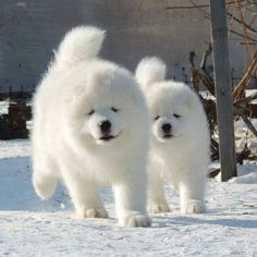 Samoyed puppies @we_love_samoyed