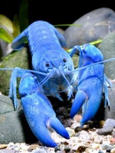 Yabbie Blue Crayfish via Elite Inverts Store WOW Blue CrayFish! Never seen before