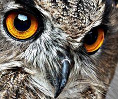 Owl's piercing gaze