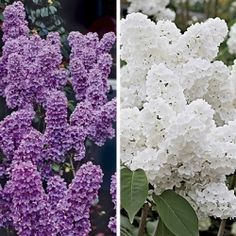 Fragrant Lilac Collection