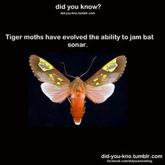 Did You Know: Tiger moths have evolved to jam bat sonar?
