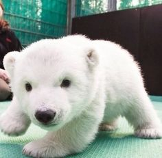 coy and cuddly. Cute and Cuddly Baby Animals Cute baby animal pictures, cute baby animals cute baby ani. Baby Animals Pictures, Funny Animals, Pet Pictures, Funny Pictures, Baby Polar Bears, Polar Cub, Polar Beat, Baby Pandas, Baby Otters