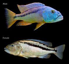Aristochromis christyi - ciclide africane Lacul Malawi