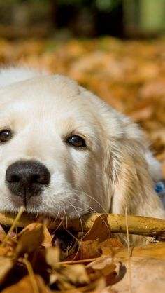 PRECIOUS GOLDEN RETRIEVER PUP TIRED OF RAKING LEAVES <3