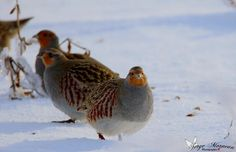 serge morneau photographie , ornitologie , oiseaux ,birds ,photo ,