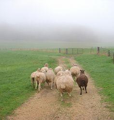 www.editionlocal.com >> Sheep >> Farmlands of Marin >> Sonoma County, California.