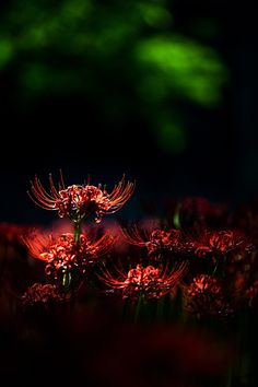Photograph 曼珠沙華/red spider lily by Takao Tsushima on 500px Red Spider Lily