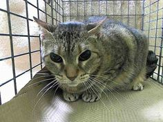 SAFE! TO BE DESTROYED 3/19/14 **NOTEWORTHY is sweet and probably BLIND-this little girl needs out of ACC, and now!!! Manhattan Center  My name is NOTE WORTHY. My Animal ID # is A0993340. I am a female brn tabby domestic mh. The shelter thinks I am about 2    I came in the shelter as a SEIZED on 03/07/2014 from NY 10003, owner surrender reason stated was OWN ARREST…