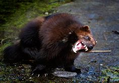 Wolverine- Slide These bad-boys don't actually have blood. I'm pretty sure that furious volcanic lava pulses through their arteries. Baby Exotic Animals, Baby Animals, Cute Animals, Fierce Animals, Wolverine Animal, Wolverine Images, Angry Animals, Power Animal, Curious Creatures