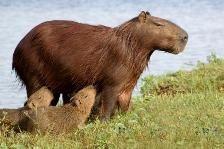 Bolivia wildlife: capybara