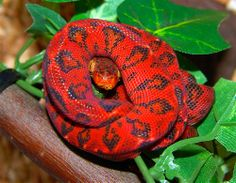 Brilliant red snake looks photoshopped but so what!