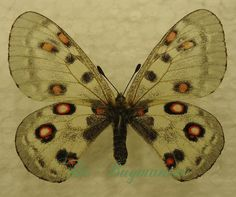 Papilionidae : Parnassius honrathi kondarensis PAIR - The Bugmaniac INSECTS FOR SALE BUTTERFLIES FOR SALE INSECTS FOR SALE BUTTERFLIES FOR SALE BUTTERFLIES BY ECOZONE PALEARTIC ECOZONE + N-AMERICA PAPILIONIDAE