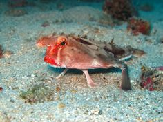 Red-Lipped Batfish,  These fish, looking like a middle-aged woman, use their fins to walk on the floor of the ocean, seeing as they aren't very good swimmers.