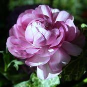 excellent info on growing ranunculus: https://garden.org/learn/articles/view/757/