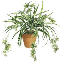 spider plants - Google Search