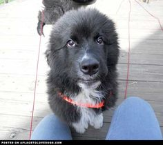 Baby Newfoundland • dog dogs puppy puppies cute doggy doggies adorable funny fun silly photography