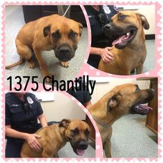 08/15/15-SUPER URGENT TEXAS!!!   Saving Animals from Euthanasia in Texas August 5 · Edited ·     Smith County Tyler, TX CHANTILLY, Cause# 1375 Female, Brown & Black Boxer/Cur Mix 1.5 years old, 59 lbs. Intake: 8-4-15, no chip ***Picked up on CR 3104*** **Vaccinated & Dewormed**  TAG or ADOPT ***TUESDAY*** AUGUST 18th BEFORE 5 PM to leave WEDNESDAY 19th at 10:30 AM!  MUST BRING CRATES AT PICKUP OR WILL NOT BE RELEASED!!