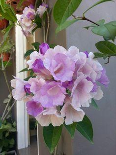 Climbing flower.  Pretty in purple