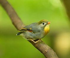 相思鳥種類導讀:在天願作比翼鳥,在地願為連理枝,比翼鳥就是在說相思鳥。很多人都誤以為相思鳥的另一半死後相思鳥會殉情,其實是主人照顧不善!想要養出健康可愛的相思鳥,許多知識可是不可少的呢。