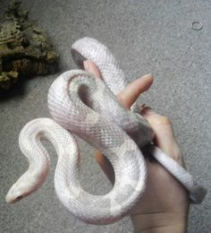 Pretty Snakes, Beautiful Snakes, Animals Beautiful, Cute Reptiles, Reptiles And Amphibians, Vivarium, Pet Hotel, Cute Snake, Cute Animals