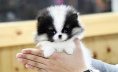 teacup pomsky puppies