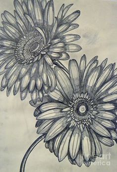 gerbera daisy drawing - Google Search