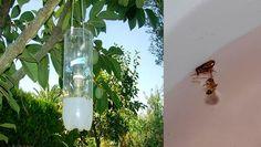En la casa de mi suegra era VIDA, el ver como NO habían moscas u algún insecto volador, puesto que ella elaboro su propia trampa para mosquitos. Esta trampa es tan fácil pero tan efectiva que no deja ni UNO vivo. Esta se elabora buscando un…