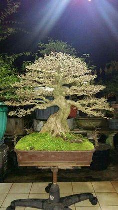 Bonsai placed on a special pedestal Asian Plants, Bonsai Tree Types, Bonsai Styles, Mini Bonsai, Japanese Garden Design, Miniature Trees, Bonsai Garden, Planted Aquarium, Outdoor Landscaping