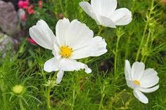 cosmos flowers images - Google Search Red Flowers, Colorful Flowers, Beautiful Flowers, Cosmos Flowers, Garden Insects, Easy Care Plants, Garden Deco, Annual Flowers, Tall Plants