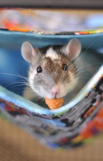 Cute Pet Rat With Mouth Full