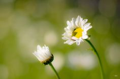 Daisies by Jörn Brede on 500px