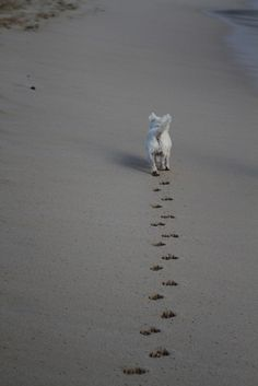 West Highland Terrier hits the beach in Australia
