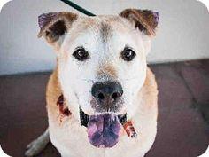 Pasadena, CA - Labrador Retriever/Chow Chow Mix. Meet WILLY, a dog for adoption. http://www.adoptapet.com/pet/11872259-pasadena-california-labrador-retriever-mix