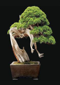 """"""" Picture-Perfect Bonsai """" Bonsai, meaning """"to plant in a tray,"""" is a tradition that originated in China about years ago and later traveled to Japan. To cultivate a bonsai, a horticulture artist starts with cutting, seedling or. Ficus Bonsai, Juniper Bonsai, Indoor Bonsai, Bonsai Plants, Bonsai Garden, Bonsai Trees, Bougainvillea Bonsai, Juniper Tree, Mini Bonsai"""