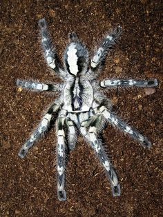 Tarantula P. Most Beautiful Animals, Beautiful Creatures, Creepy Animals, Insect Photos, Iron Man Art, Spider Art, Itsy Bitsy Spider, A Bug's Life, Cichlids