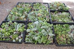 Live succulents from this store in SoCal, sold by cuttings if we wanted to make a wall! -SK Where To Buy Succulents, Types Of Succulents, Planting Succulents, Growing Succulents, Succulent Cuttings, Succulent Wreath, Succulent Pots, Succulent Favors, Succulent Gardening