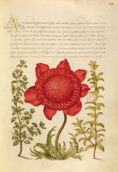 Basil Thyme, Poppy Anemone, and Myrtle; Joris Hoefnagel (Flemish / Hungarian, 1542 - 1600), and Georg Bocskay (Hungarian, died 1575); Vienna, Austria; 1561 - 1562; illumination added 1591 - 1596; Watercolors, gold and silver paint, and ink on parchment; Leaf: 16.6 x 12.4 cm (6 9/16 x 4 7/8 in.); Ms. 20, fol. 30. High res image from the Getty Museum.